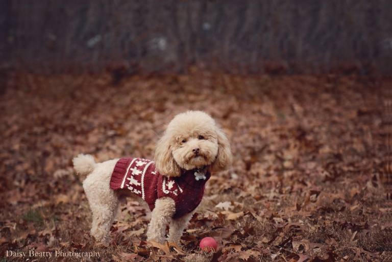 poodle with a ball in springs dog park in east hampton ny by photographer daisy beatty